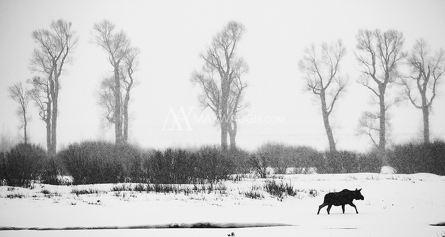 A moose passes in front of cottonwood trees on a snowy day in the Lamar Valley.