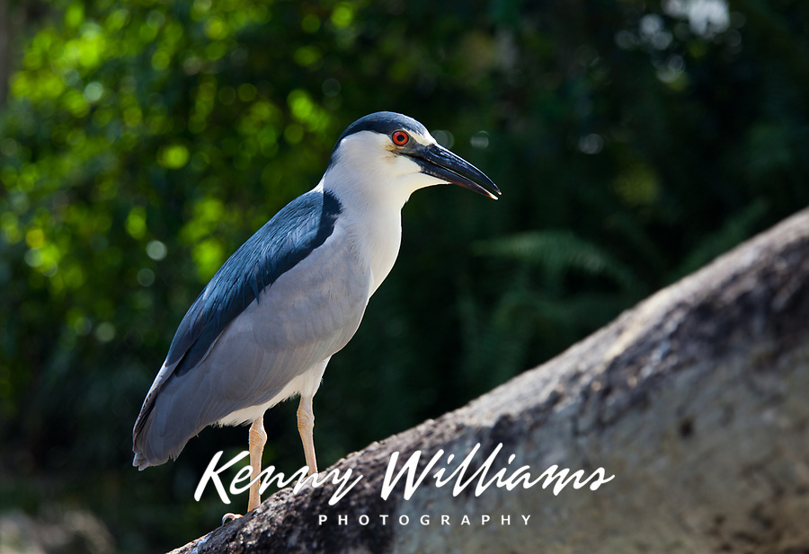 Black-Crowned Night Heron, (Nycticorax Nycticorax), Birds, Everglades National Park, Florida, FL, America, USA.