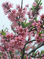 Blooming Peach tree in Joan Gussow's garden