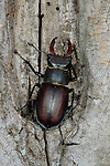 A Stag Beetle (Lucanus cervus) on dead wood, Italy.