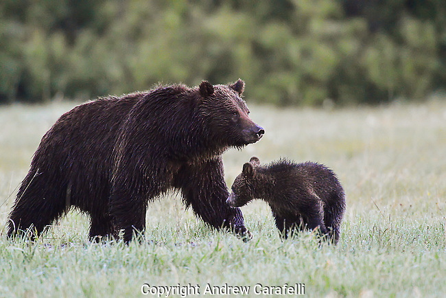 Grizzly Bear 399 stands guard over her COY ( Cub Of the Year) in late Spring 2016 in Grand Teton National Park, Wyoming.