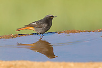 Black Redstart - Phoenicurus ochruros - male