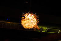 A blowfish light hangs from the ceiling in Hojoko, a Japanese bar and restaurant in The Verb Hotel in the Fenway neighborhood of Boston, Massachusetts, USA, on Friday, Dec. 4, 2015.