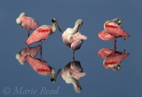 Roseate Spoonbills (Ajaia ajaja) group of four (2 adults, 2 immatures)preening, reflected in water, Florida, USA<br /> Slide # B187-318