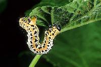 Stachelbeerspanner, Stachelbeer-Spanner, Raupe, Stachelbeer-Harlekin, Abraxas grossulariata, Magpie Moth, caterpillar, Spanner, Geometridae, looper, loopers, geometer moths, geometer moth