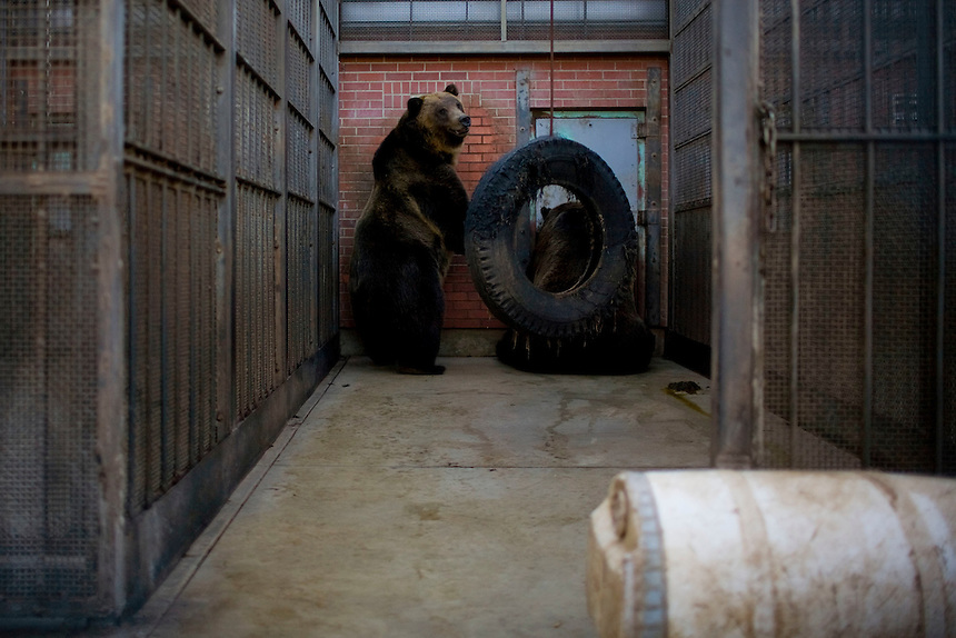 Grizzly bears at Washington State University's Bear Research Center wait outside while their cinderblock den is cleaned and meal left. Unless the bears are hibernating, the faculty and student staff at the facility keep a fence between themselves and the bears at all times...(Matt Mills McKnight for The Wall Street Journal)