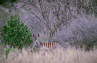 652209002 a wild rare lesser kudu tragelaphus imberbis partially hidden in tall dry grass in tsavo national park kenya