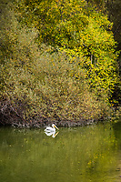 An American white pelican slowly paddles along the shoreline under yellow and brown leaves at Lake Chabot Regional Park, California.