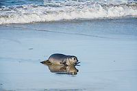 "Northern Elephant Seal (Mirounga angustirostris) pup (often called a ""weaner"") coming ashore.  Central California coast."