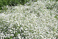 Baby's Breath Gypsophila elegans 'Covent Garden White'