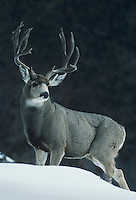 Mule Deer, Black-tailed Deer (Odocoileus hemionus), buck in snow, Rocky Mountain National Park, Colorado, USA