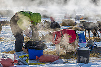 2015 Iditarod mushers tend to dogs at the Manley Hot Springs checkpoint, Alaska.