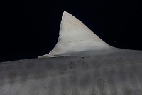 Tiger shark (Galeocerdo cuvier) in the Bahamas, black background, night