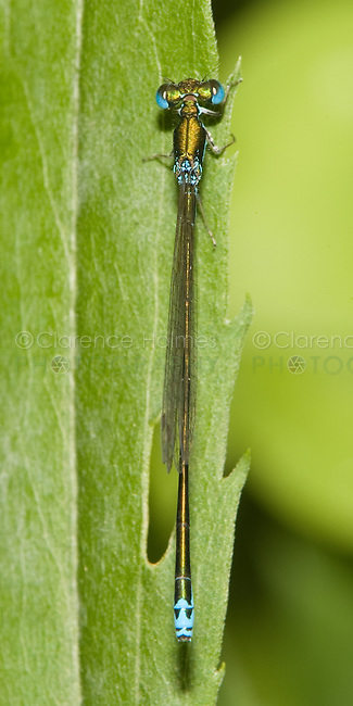 Sedge Sprite (Nehalennia irene) Damselfly - Male, Pharaoh Lake Wilderness Area, Ticonderoga, Essex County, New York