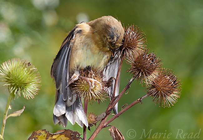 American Goldfinch (Carduelis tristis) young bird found dead after being trapped on the hooks of burdock (Arctium sp.) seedpods in late summer, New York, USA