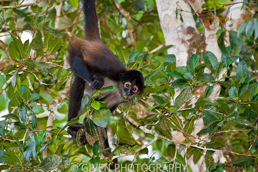 Spider Monkey. Belize