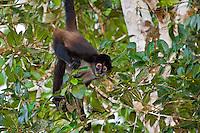 Spider Monkey. Belize