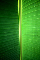 Banana Leaf, Christmas Island, Indian Ocean