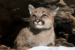 Cougar cub (Puma concolor) at the entrance to a rock crevice.  Minnesota.
