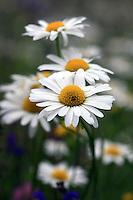 Margeriten - Marguerite Flowers