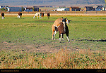 Llama Courtship Ritual, The Mounting, Loa, Utah
