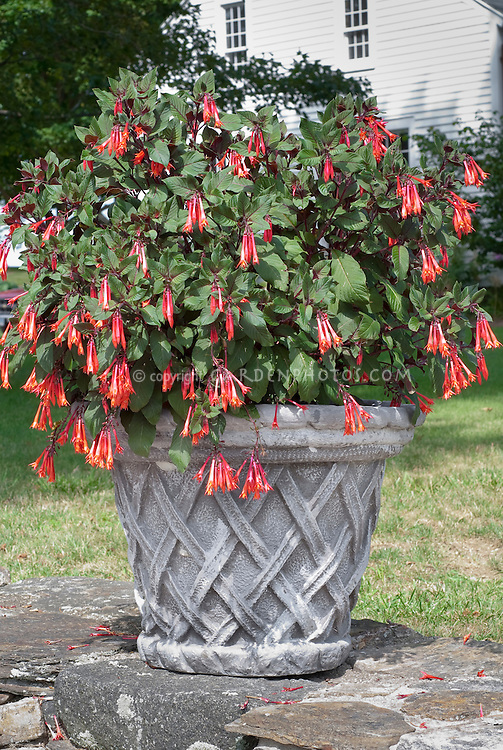 Fuchsia in cement container pot near house, standing alone on rock
