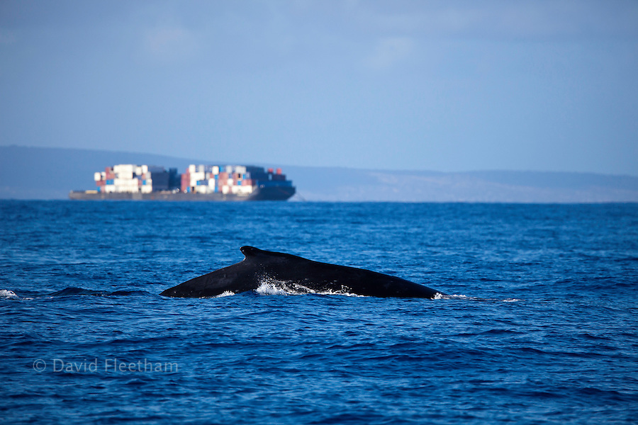 A humpback whale, Megaptera novaeangliae, surfaces near a passing container barge off the island of Maui, Hawaii.