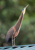 A Bare-throated tiger heron emits a croaking call to attract females.