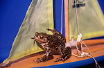 AE2BT6 Frog sailing a toy sailing boat with yellow sails