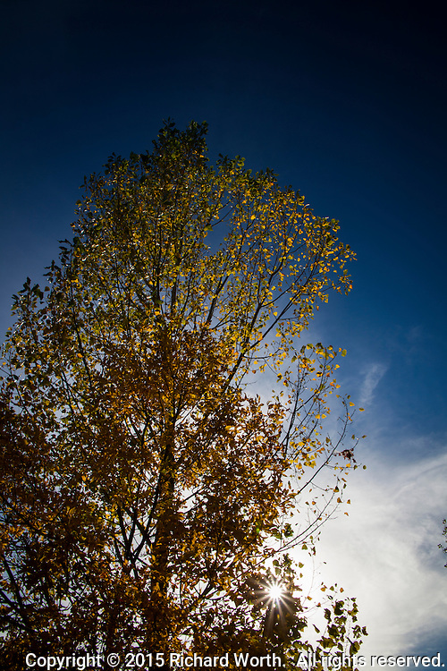 A tree, full of autumn gold leaves, reaches toward a deep blue sky while a sunburst shines through lower branches.