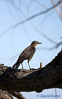 0916-0905  Juvenile Great-tailed Grackle, Quiscalus mexicanus © David Kuhn/Dwight Kuhn Photography