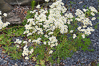 Host-Steinbrech, Hosts Steinbrech, Silberrosetten-Steinbrech, Saxifraga hostii, Encrusted Saxifrage, Silver Saxifrage, Steinbrechgewächse, Saxifragaceae