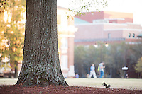 Drill Field squirrel.<br />  (photo by Megan Bean / &copy; Mississippi State University)