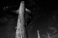 Saguaro or Sahuaro (Carnegiea gigantea) shaped like a man. Typical columnar cactus from the Sonoran Desert, Mexico. monotípicoc is a species of greater size among the cacti .... KEY WORDS: surreal, alien, extraterrestrial, strange, shape, malformation, twisted, tree brazes, bony thorns, rare, twisted, crooked, crooked.<br /> <br /> saguaro o sahuaro (Carnegiea gigantea) con forma de un hombre. cactus columnar típico del Desierto de Sonora, Mexico. monotípicoc es una especies de mayor porte entre las cactáceas....PALABRAS CLAVES: surreal, alienigena, extraterreste, extraño, forma, malformacion, retorcido, brasos de arbol ,brasos de espinas, raro, retorcido, chueco, torcido.<br /> <br /> (Photo:LuisGutierrez/NortePhoto.com)