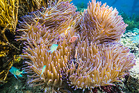 Pink anemonefish, Amphiprion perideraion, Sebayur Island, Komodo National Park, Indonesia