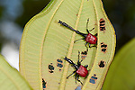 Giraffe Necked Weevil, Trachelophorus giraffa, male & female together on leaf of host plant (Dichaetanthera cordifolia) tropical rainforest, Mantadia National Park, Andasibe, Madagascar