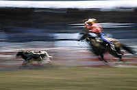 Man calf roping at rodeo, blurred motion shot. Calgary, Alberta, Canada.