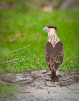 Juvenile Crested Caracara standing on the ground with his head in profile