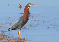 Courtesy photo/PHYLLIS KANE<br /> POND PATROL<br /> A green heron wades in one of the ponds at the Charlie Craig State Fish Hatchery in Centerton. Phyllis Kane of Fayetteville took the picture May 22. The hatchery is a popular birding destinatiion.
