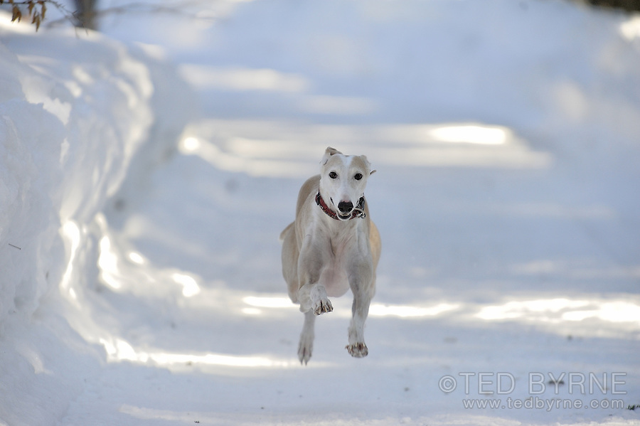 Approaching Whippet (sprint)