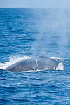 San Diego, California; a Finback Whale (Balaenoptera physalus) exhaling at the water's surface before submerging again to feed on krill