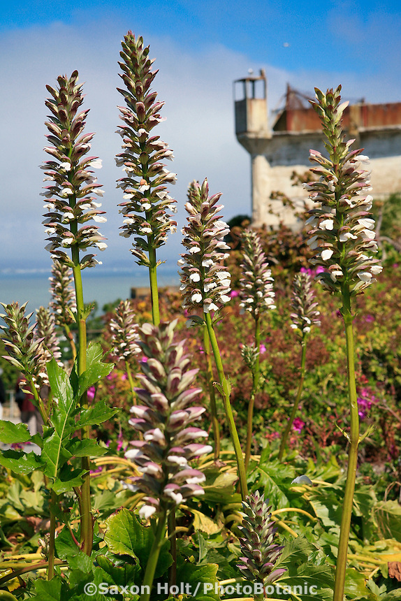 Bear's Breech, Acanthus mollis, Gardens of Alcatraz