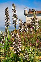 Bear's Breech, Acanthus mollis, Gardens of Alcatraz