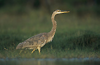 Great Blue Heron, Ardea herodias,immature in pond, Starr County, Rio Grande Valley, Texas, USA, May 2002