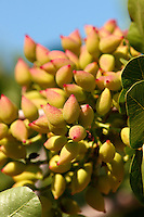 Fresh pistachio nuts growing on bushes.  Aegina, Greek Saronic Islands