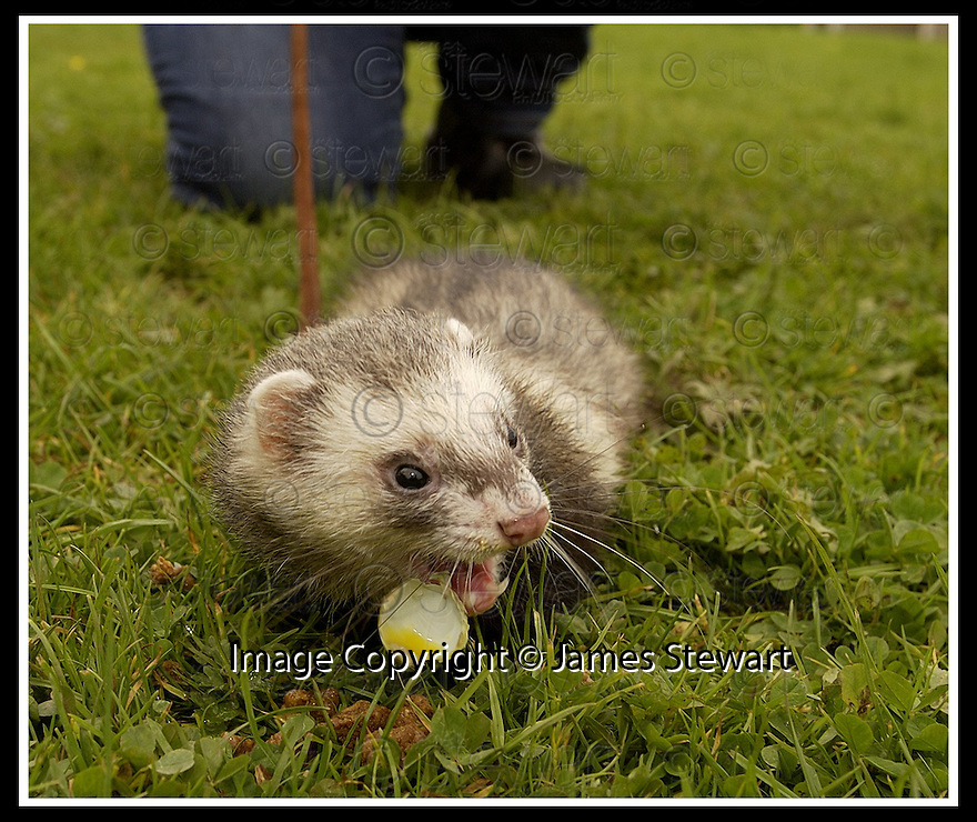19/9/02       Copyright Pic : James Stewart                     .File Name : stewart-ferret 07.THE SSPCA'S DENISE BROWN TAKES ONE OF THE MANY THE FERRETS FOR A WALK......(see copy from George Mair / Tim Bugler).....James Stewart Photo Agency, 19 Carronlea Drive, Falkirk. FK2 8DN      Vat Reg No. 607 6932 25.Office : +44 (0)1324 570906     .Mobile : + 44 (0)7721 416997.Fax     :  +44 (0)1324 570906.E-mail : jim@jspa.co.uk.If you require further information then contact Jim Stewart on any of the numbers above.........