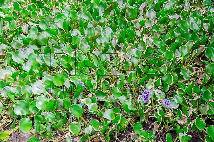 Detalhe de aguapés floridos em Boracéia, Bertioga-SP, 12/2014.