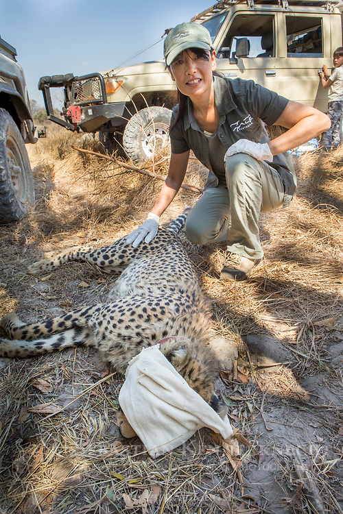 Cheetah (Acinonyx jubatus) biologist, Kim Young-Overton, collaring twenty-one month old sub-adult female, Kafue National Park, Zambia