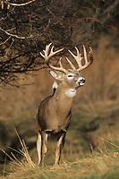 White-tailed Deer (Odocoileus virginianus), buck, Minnesota, USA