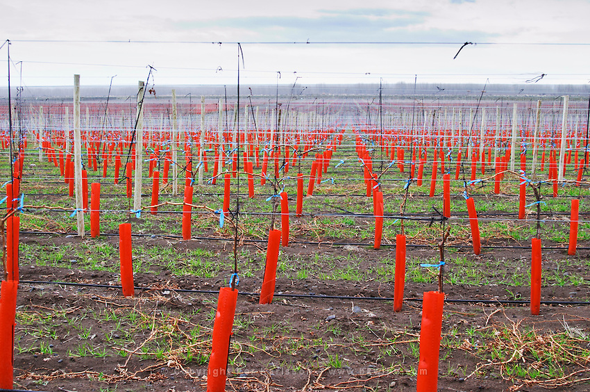 Vines with protective plastic cover in red, metal wires Bodega Del Fin Del Mundo - The End of the World - Neuquen, Patagonia, Argentina, South America